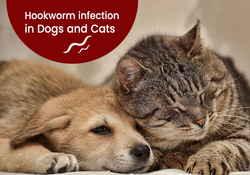 Hookworm infection in Dogs and Cats