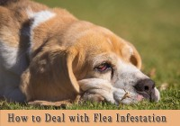 How to Deal with Flea Infestation