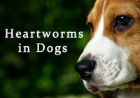 Heartworms in Dogs