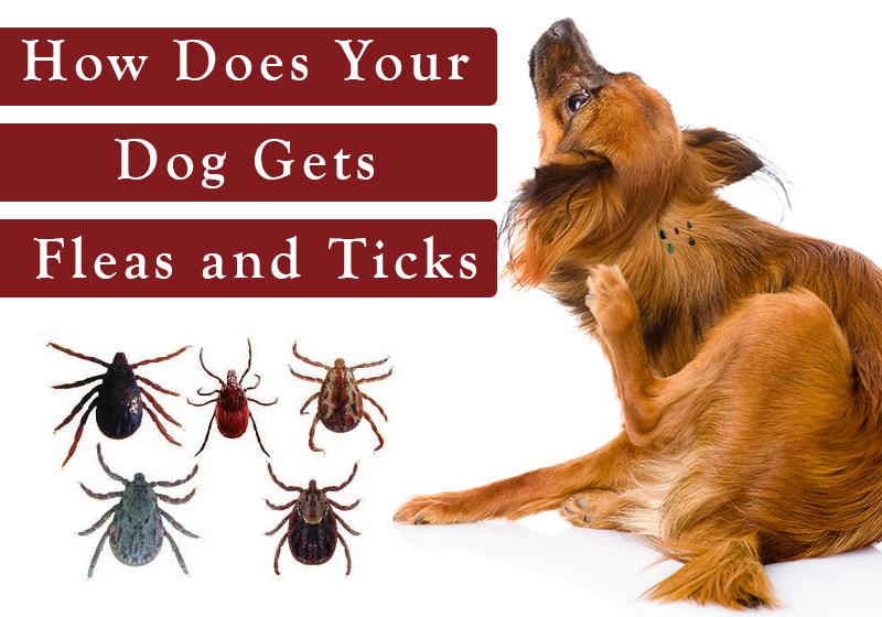 Dogs Ticks And Fleas Goldenacresdogs Com