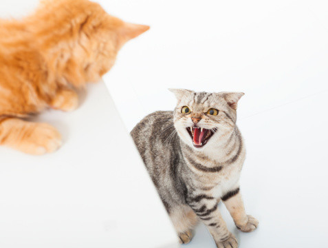 Conflict Amongst Cats