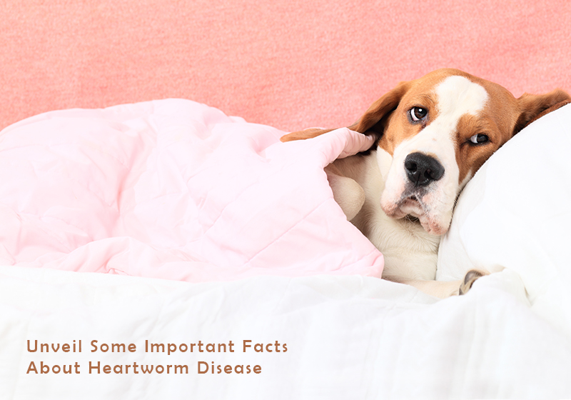 Some Facts Heartworm Disease