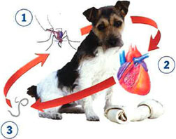 Heartworm Diseases in Pet