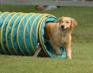Agility Training of Dog