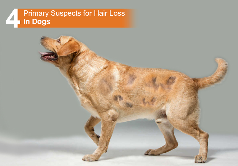 4 Primary Suspects For Hair Loss In Dogs Bestvetcare