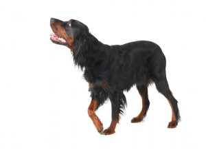 causes of dog limping