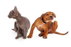 Fleas on Pets