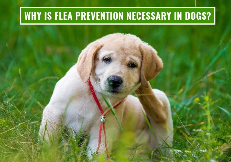 bvc-why-is-flea-prevention