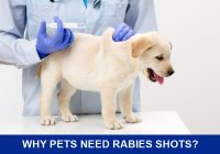 Dog-being-given-rabies-shots