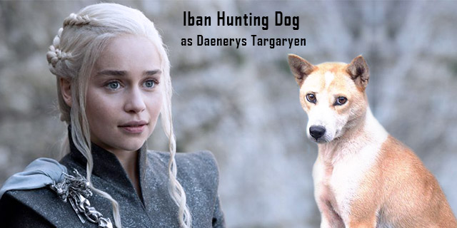 Iban Hunting-Dog-as-Daenerys-Targaryen