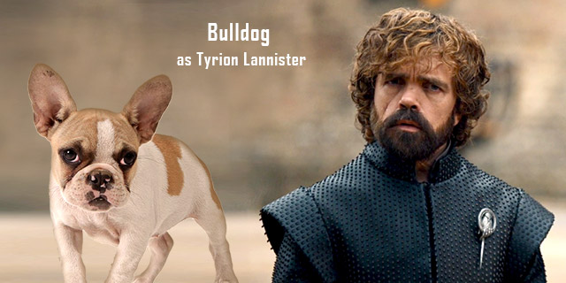 Bulldog-as-Tyrion-Lannister