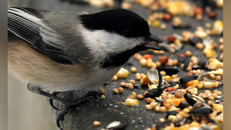Grain Eating Birds