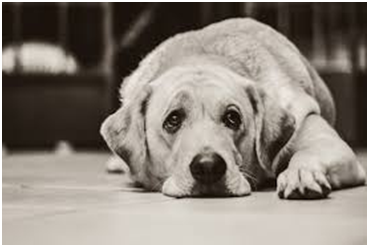 Why Only Dogs Can Make Puppy Eyes And Not Wolves?